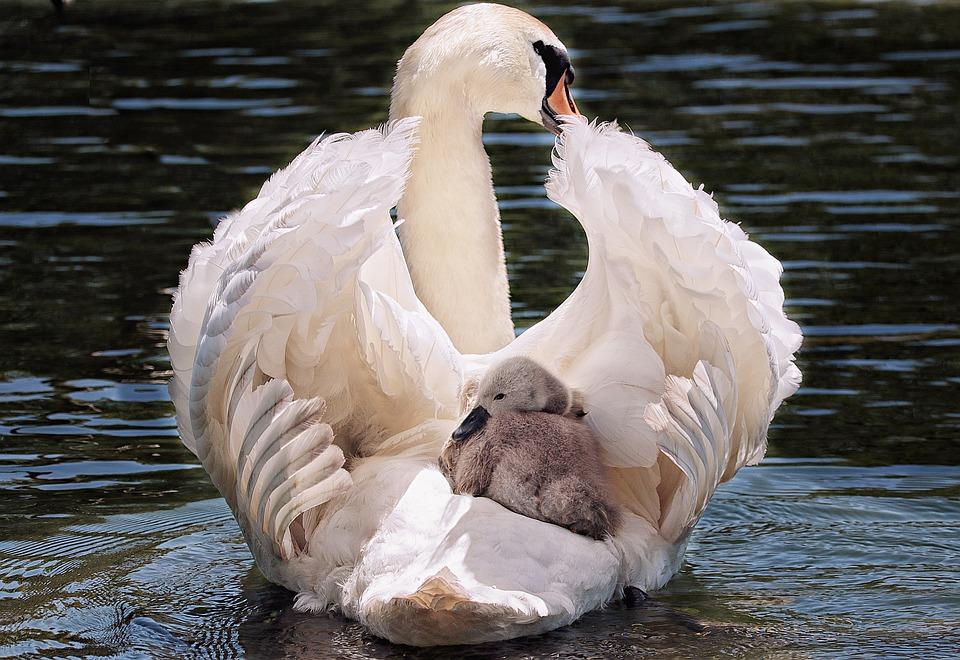 swan-4208564_960_720.jpg