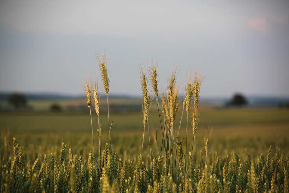 cornfield-1501477_960_720.jpg